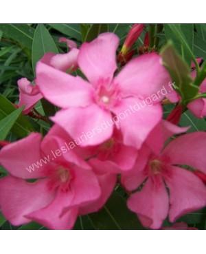 Laurier rose Grandiflorum