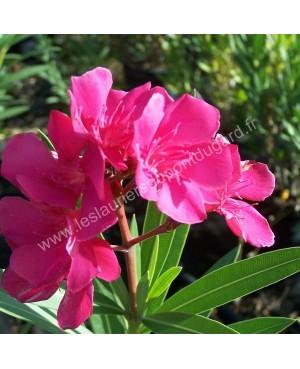 Laurier rose Rosanie