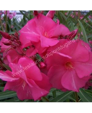 Laurier rose Roseum Plenum