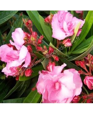 Laurier rose Splendens Giganteum