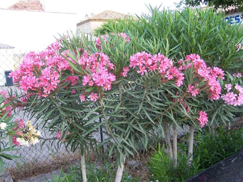 tito poggi - variété de laurier rose